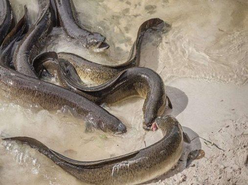 Mơ thấy lươn mang lại cho bạn điềm báo hung hay cát?