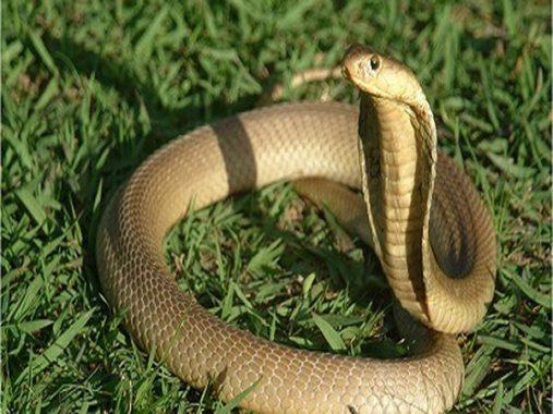 Nằm mơ thấy rắn hổ mang là điềm báo gì, đánh con gì may mắn?