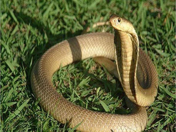 Giải mã điềm báo giấc mơ thấy rắn hổ mang