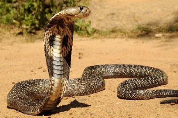 Ý nghĩa giấc mơ thấy rắn hổ mang