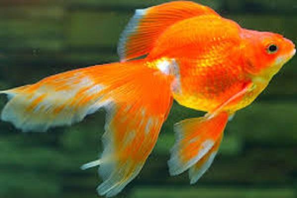 Điềm báo giấc mơ thấy cá vàng