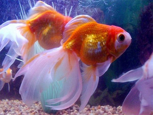 Ý nghĩa điềm báo mơ thấy cá vàng