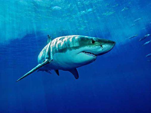 Mơ thấy cá mập – Ý nghĩa của giấc mơ thấy cá mập là gì, đánh con gì