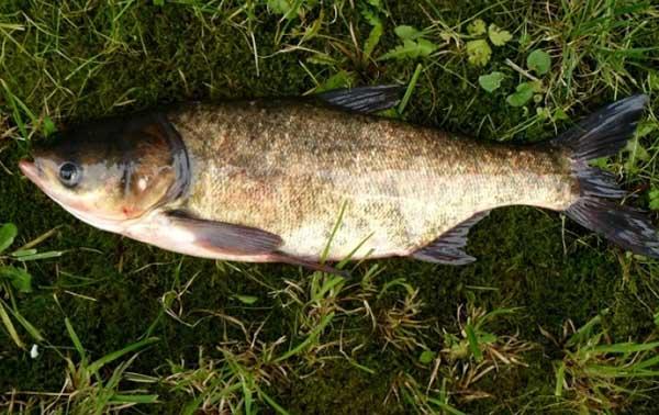 Giải mã giấc mơ thấy cá mè đánh con gì chắc ăn nhất