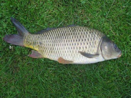 Ngủ mơ thấy cá chép là điềm hên hay xui ? Đánh số mấy ?